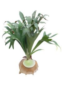 Staghorn Fern in pot Isolated On White Background ** Note: Soft Focus at 100%, best at smaller sizes
