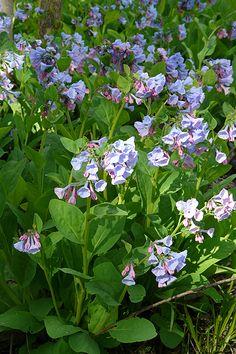 Virginia Bluebells (Mertensia virginica) : Prairie Nursery : Native Plants