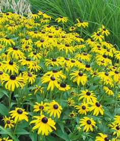 I planted some blackeyed susan  (Rudbeckia, Goldsturm) seeds around the mailbox.  If they come up they will look like these.    -Update.  They are up and I have my first opening flower!!!