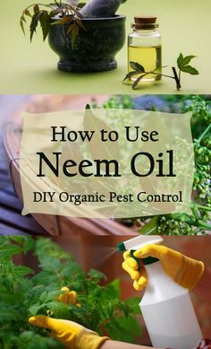 Learn about neem oil, a plant extract that can protect your plants from aphids, . Learn about neem Slugs In Garden, Garden Pests, Garden Insects, Garden Fertilizers, Bug Control, Pest Control, Garden Wallpaper, Gemüseanbau In Kübeln, Japanese Beetles