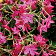 Flowering Tobacco - Top 10 Plants for Seaside Gardens - Coastal Living
