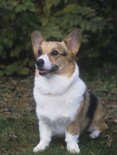 Pembroke Welsh Corgi--According to the Animal Planet this is the type of dog that @Dallen Ford and I should get.