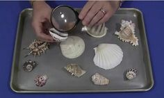 childcareland.com - Early Learning Activities For Pre-K and Kindergarten:  seashell discovery tray