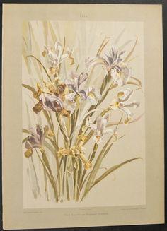 Irises, botanical illustration.