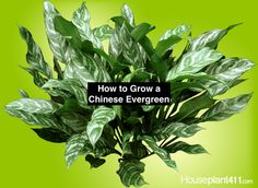 Chinese Evergreen, Aglaonema, how to grow plant care guide. Learn how much light, water, and fertilizer a Chinese Evergreen plant needs. Find answers to Chinese Evergreen care questions. Low Light Plants, Sun Plants, Fruit Plants, Rare Plants, Tropical Plants, Indoor Plants, Chinese Evergreen Plant, Growing Plants Indoors, Plant Diseases