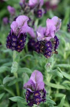 Lavandula little bee deep purple