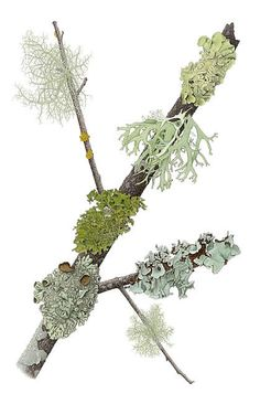 Mill-Valley-Lichens // Gorgeous botanical illustration by my friend Kristin Jakob Botanical Drawings, Botanical Illustration, Botanical Prints, Architecture Tattoo, Nature Journal, Arte Floral, Art Graphique, Illustrations, Bonsai