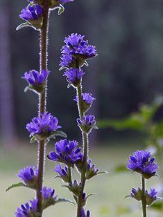 Hirvenkello, Campanula cervicaria - Kukkakasvit - LuontoPortti Landscape Pictures, Fungi, Finland, Wild Flowers, Natural Beauty, Flora, Environment, Spikes, Garden