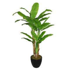Laura Ashley 78-inch Tall Banana Tree with Real Touch Leaves in... ($395) ❤ liked on Polyvore featuring home, home decor, floral decor, laura ashley, leaf home decor and laura ashley home decor