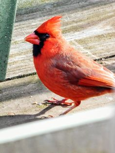 """HI, I'm back."" / Male Cardinal - photo by S.Dorman"