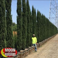Italian Cypress can be used to create a formal hedge, accent pillars, walls, walkways, and entries. They also provide screening privacy from unwanted views and can create a noise barrier. Privacy Plants, Privacy Landscaping, Outdoor Landscaping, Backyard Trees, Large Backyard, Tall Skinny Trees, Italian Cypress Trees, Epic Pools, Yard Design