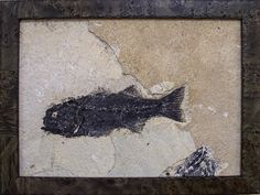 Myoplosus was a predator, and is always found as a solitary fossil as it was not a schooling fish. It is from the Eocene period around 50 million years ago.