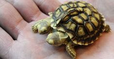 In March 2011, an African tortoise with two heads and five legs was born in Zilina, Slovakia. She, at that time was seven weeks old, was christened with two names: Magda (left head) and Lenka (right head).