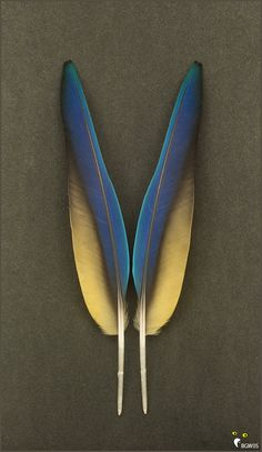 Matched Pair Macaw Parrot Cobalt Royal Navy Blue Gold Wing Feathers 13 inches. $14.50, via Etsy.