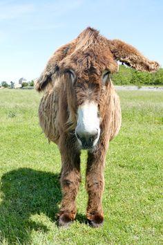 Farm Animals, Animals And Pets, Cute Donkey, Diy Garden Projects, Eeyore, Zebras, Farm Life, Goats, Cow