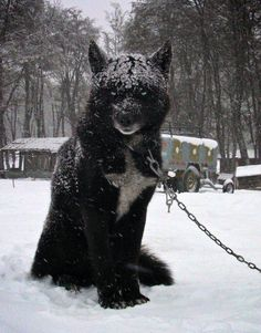Funny pictures about Majestic Black Wolf Hybrid. Oh, and cool pics about Majestic Black Wolf Hybrid. Also, Majestic Black Wolf Hybrid photos. Beautiful Wolves, Beautiful Dogs, Animals Beautiful, Big Dogs, Cute Dogs, Dogs And Puppies, Giant Dogs, Doggies, Animals And Pets