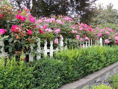 Prettiest roses in the neighborhood.