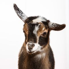 Daily Dose - March 3, 2015 - Baby Goat Kid Sweetness - Nigerian Goat Kid  2015@Barbara O'Brien Photography
