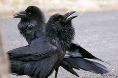 Common Raven Corvus corax | Flickr - Photo Sharing!