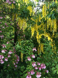 Paradisbuske och Gullregnsträd / Längtans trädgård
