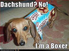dachshund fun - Buscar con Google