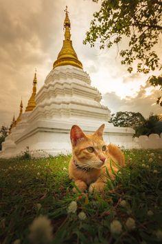 Temple Cat, Lampang, Thailand Der Wat Phrathat Lampang Luang ist eine buddhistische Tempelanlage (Wat) im Landkreis (Amphoe) Ko Kha