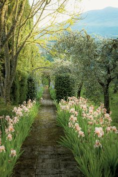 A path shaded by olive trees and flanked by Florentine irises leads from the main house to the studio. Ricardo Labougle