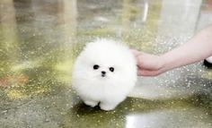 Soooooooo cute!  Its a Marshmallow dog...  awwwwwww