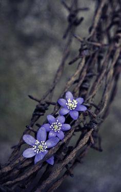 Hepatica nobilis....