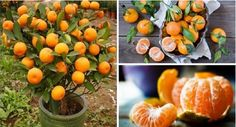 One of the foods with the best taste ever is tangerine. Most of the people love them. This present's autumnal fruit has different health benefits. Tangerine will improve the immune system and it present also anti inflammatory and anti bacterial properties. You can grow your tangerine in your yard. In addition we are going to …