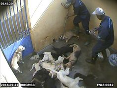 "Mauritius dog slaughter kennel: ""...footage from Mauritius—an island known for its mountains, reefs, and award-winning beaches—showing that dogs are killed in cruel and painful ways by the government-funded Mauritius Society for Animal Welfare...Even though this procedure is condemned by the international veterinary community because it often causes dogs to die slowly and in extreme pain..."" (2016)"