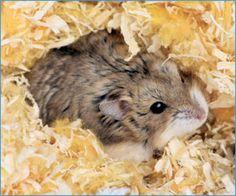 Hamster | thatpetplace.com #SmallAnimal #SmallPet #Hamster #Hamsters