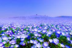 ブルーの絨毯は今が見頃!ひたち海浜公園に青の絶景「ネモフィラ」を見に行こう