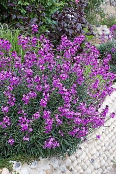 Raised Border Planting-Erysimum 'Bowles Mauce'