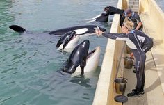 Marineland d'Antibes: L'orque Valentin est mort d'une «torsion intestinale»