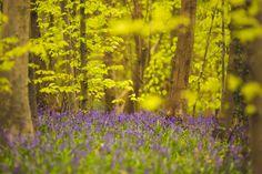 #woodland #bluebells #forrest