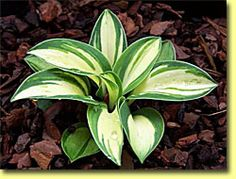 Hosta 'Snow Mouse' - a mini,  This little dude has a white center that stays white all season surrounded by a blue green border. Another cutie!