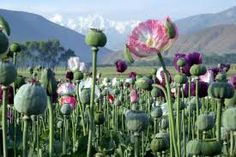afghan poppies - Google Search