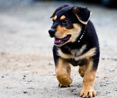 It is a lovely day for a walk, don't you agree Mr. Bernese puppy?