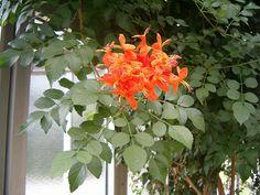 Tecoma capensis Habit: Shrub Family:Bignoniaceae