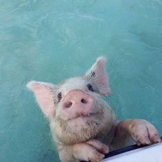 Forget swimming with the dolphinsThe Exumas have swimming pigs! Photo courtesy of tracyzimmer98 on Instagram.