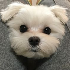 Maltese and Children: Is It a Good Combination - Champion Dogs Cute Baby Dogs, Cute Dogs And Puppies, Cute Baby Animals, I Love Dogs, Animals And Pets, Funny Animals, Doggies, Boxer Dogs, Maltese Dogs