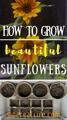 How to grow sunflowers from seeds! Looking for ways to grow an eye-catching, manicured, and budget friendly garden this summer? Use my step-by-step guide on how to start, grow, and plant sunflowers from seeds for beautiful blooms throughout the summer! When To Plant Sunflowers, Growing Sunflowers From Seed, Dwarf Sunflowers, Planting Sunflowers, Growing Flowers, Growing Sunflowers Outdoors, Starting Flowers From Seeds, Growing Grass From Seed, Wedding Sunflowers