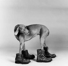 Bid now on Fay Ray by William Wegman. View a wide Variety of artworks by William Wegman, now available for sale on artnet Auctions. William Wegman, Black And White Dog, White Dogs, Man Ray, Dog Boots, Tier Fotos, Dog Photography, Dog Art, Mans Best Friend