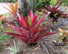Bromeliads That Can Take Full Sun -   Here is a list of full sun bromeliads that can either be planted in the landscape or as a potted specimen in a full sun location, and how to care for them.