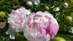 rose-white, full