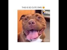 awesome Watch This Pitbull Can't Stop Smiling And It's Too Cute