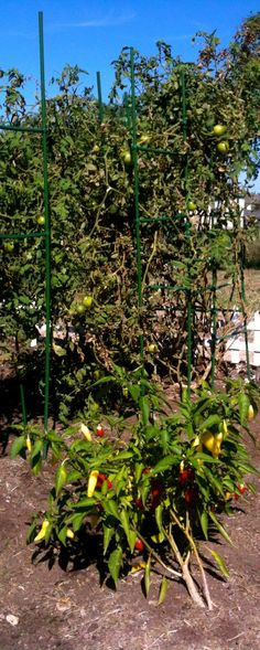 OCT 2012: Tomatoes are growing again along with the peppers.