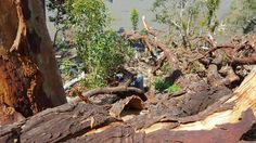 A huge tree that fell down at Cogra Bay on our holiday property.