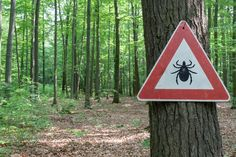 Learn more about the tick-borne illnesses out there besides Lyme disease, with the overall takeaway being that ticks suck. Tick Fever, Wood Tick, Tick Insect, Natural Tick Repellent, Types Of Ticks, Rocky Mountain Spotted Fever, Deer Ticks, Tick Bite, Lyme Disease